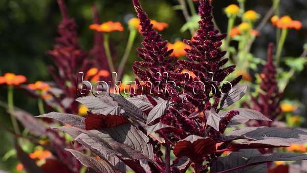 video fuchsschwanz amaranthus und mexikanische sonnenblume tithonia rotundifolia 499088. Black Bedroom Furniture Sets. Home Design Ideas
