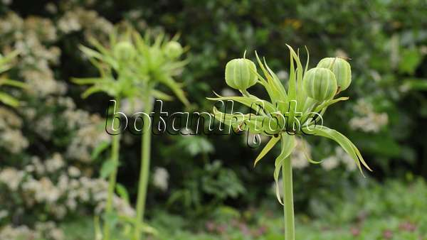 video kaiserkrone fritillaria imperialis 39 lutea. Black Bedroom Furniture Sets. Home Design Ideas