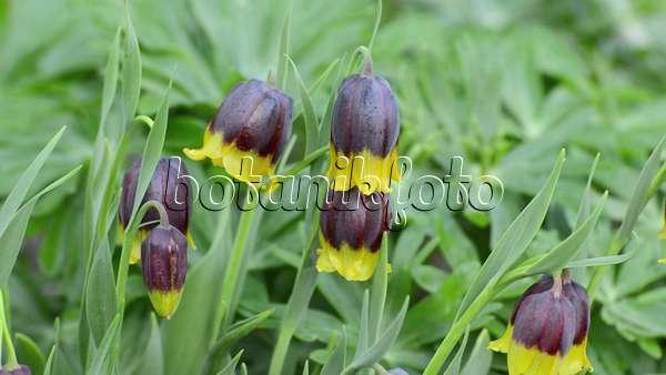 video kaiserkrone fritillaria imperialis 495267 bilder und videos von pflanzen und g rten. Black Bedroom Furniture Sets. Home Design Ideas