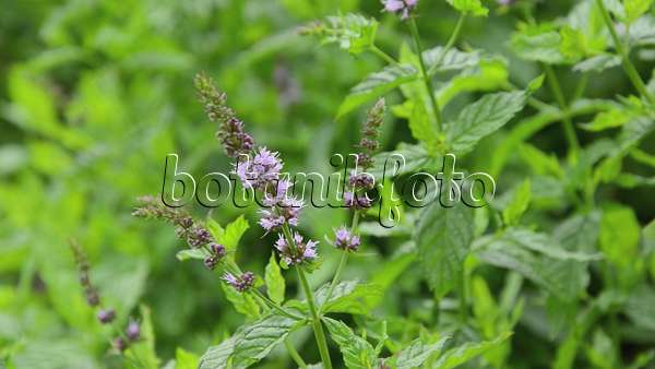 video peppermint mentha x piperita 510090 images and videos of plants and gardens. Black Bedroom Furniture Sets. Home Design Ideas