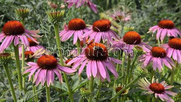 video purple cone flower echinacea purpurea 39 rubinstern. Black Bedroom Furniture Sets. Home Design Ideas