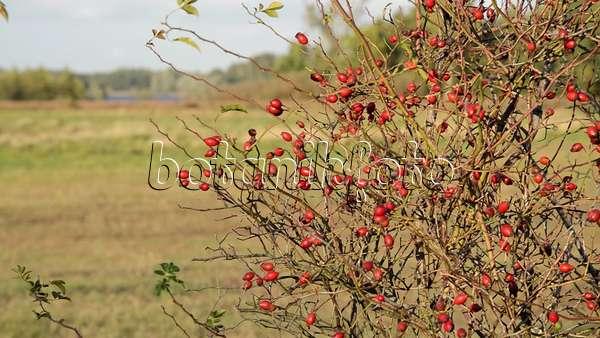 video rose rosa mit hagebutten 513034 bilder und videos von pflanzen und g rten botanikfoto. Black Bedroom Furniture Sets. Home Design Ideas