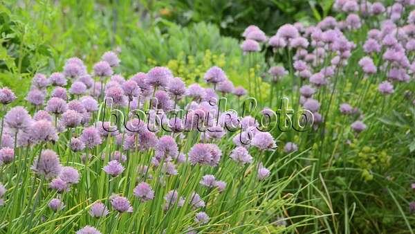video schnittlauch allium schoenoprasum 496416 bilder und videos von pflanzen und g rten. Black Bedroom Furniture Sets. Home Design Ideas