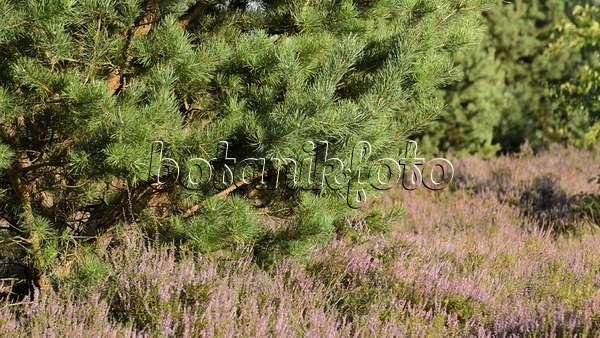 Video Scots pine (Pinus sylvestris), common heather (Calluna ...