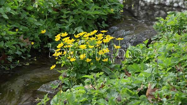 Video sumpfdotterblume caltha palustris 495331 for Pflanzen laden berlin
