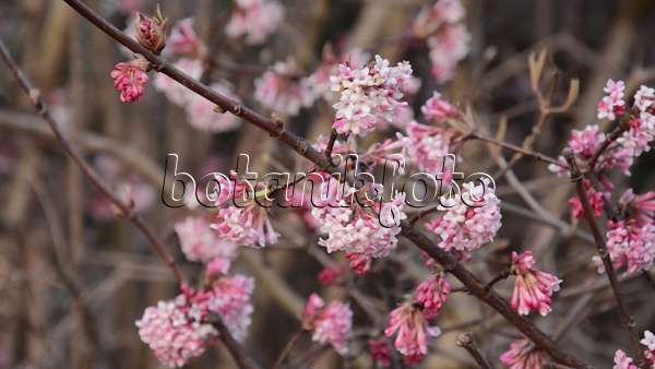 video winter viburnum viburnum x bodnantense 39 dawn 39 494105 images and videos of plants and. Black Bedroom Furniture Sets. Home Design Ideas