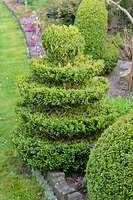 531087 - Common boxwood (Buxus sempervirens) with conical shape