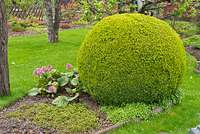 531221 - Common boxwood (Buxus sempervirens) with spherical shape