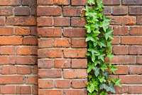 472207 - Common ivy (Hedera helix) in front of a brick wall