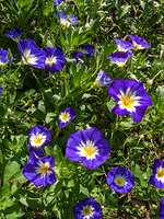 416039 - Dwarf morning glory (Convolvulus tricolor)