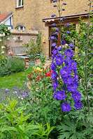 473260 - Larkspur (Delphinium x cultorum 'Black Knight') in a backyard garden