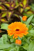 534107 - Pot marigold (Calendula officinalis)