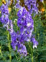 465203 - Monkshood (Aconitum carmichaelii 'Arendsii' syn. Aconitum arendsii)